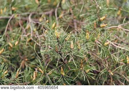 Pine Freshness. Spruce Or Conifer Plant. Spruce Fir Or Needles On Blurred Natural Background. Branch