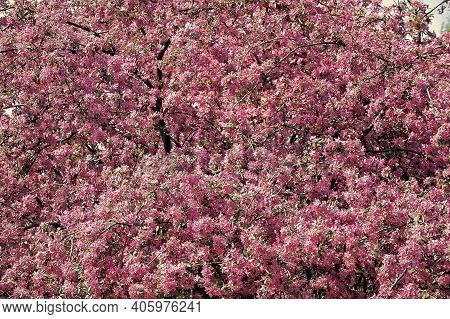 Inspiring Nature. Pollen Allergy. Seasonal Allergy. Botanical Garden Concept. Cherry Flowers Backgro