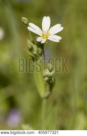Detail Of The Spring Meadow Stitchwort Or Stellaria Holostea White Flowers With Yellow Anthers And B