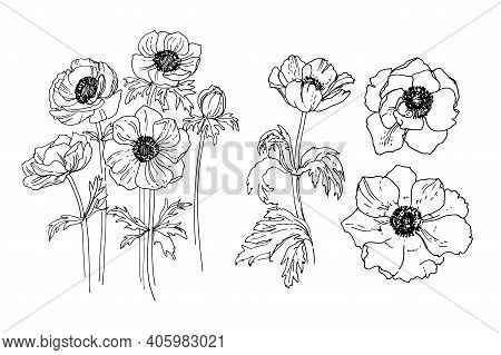 Flowers Vector Line Drawing. Anemone Drawn By A Black Line On A White Background.