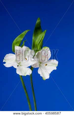 Alstroemeria Flowers on Blue Background
