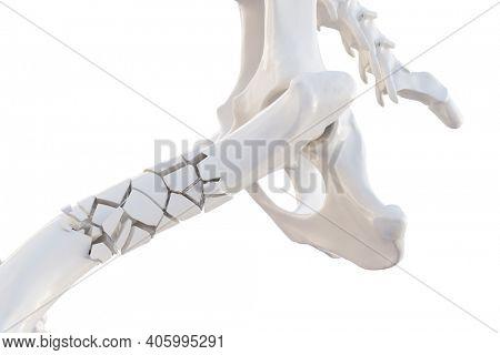 Broken dog femur bone with visible other bones. Canine skeleton 3d illustration, isolated over white