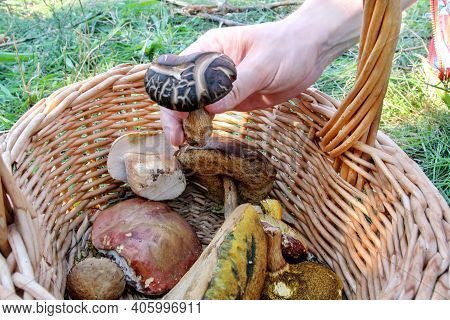 Mushrooms In Basket. Hand Is Picking Mushrooms. Hand Of A Man Holding A Mushroom. Mushroom Picking I