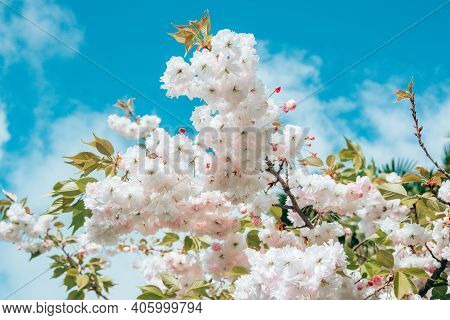Close-up Blossoming Branch With Bloom White Flower Buds Of Cherry Or Sakura Tree On Blue Sky Backgro