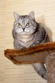 A sitting grey tabby cat on a shelf poster