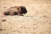 Wisent European bison in Poland outdoor wildlife poster