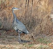 Great blue heron standing in the grass poster