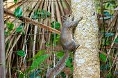 Grey squirrel climbing up tree in front of fence poster