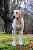 shot of a cute yellow labrador pup in the forest poster