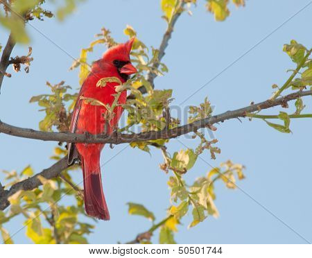 Male Northern Cardinal  in a tree in early spring poster