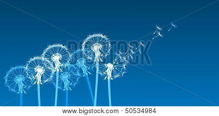 white dandelions on blue background