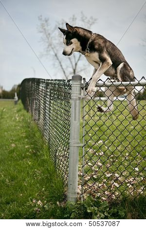 Dog Jumping Over An Outdoor Dog Park Fence