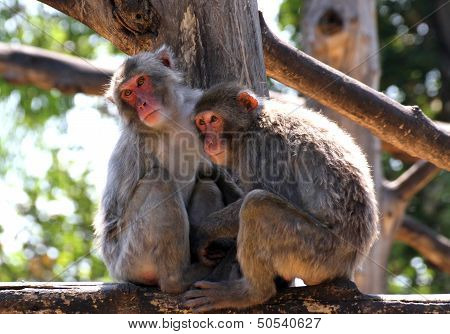 Japanese Macaque Mother And Daughter Look Lost In Empty
