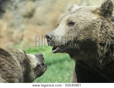 Two Cute Bears While Playing Merrily