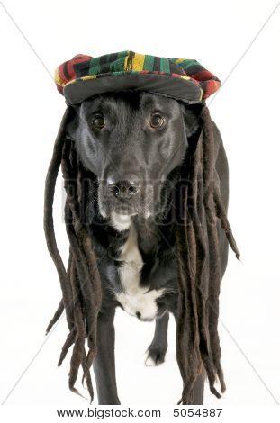Dog Wearing Rastafarian Hat