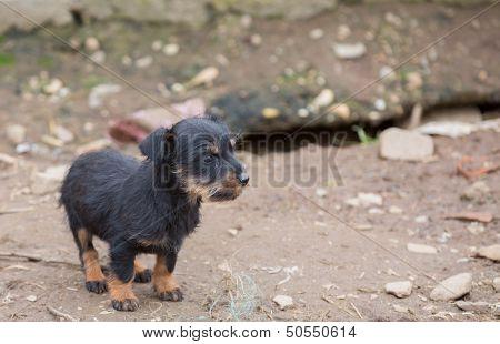 Small dachshund closeup