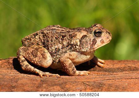 Fowlers Toad (anaxyrus Bufo Fowleri)