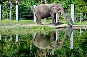 An elephant drinking water creates a mirrored reflection in the pond poster