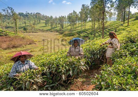 Picking Of Tea