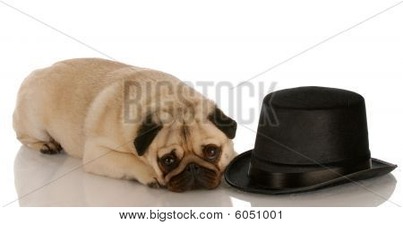 pug dog laying down beside formal black top hat poster