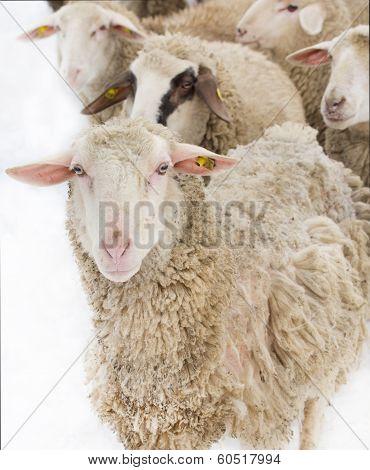 Sheep Illness