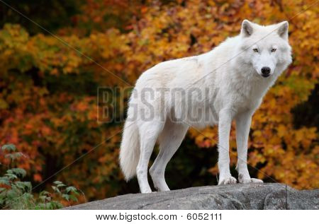 This is an Arctic Wolf standing and looking at the camera on a fall day. poster