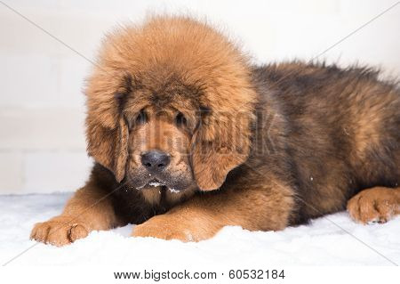 little security guard - red puppy of Tibetan mastiff sitting on snow. poster