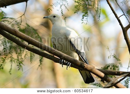 beautiful Pie Imperial Pigeon (Ducula bicolor) standing on branch poster