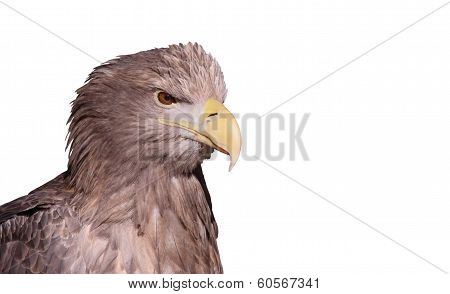 Close-up view of a White-tailed Eagle isolated on white background