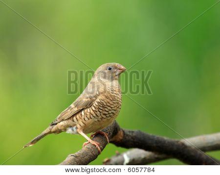 Red headed finch - female