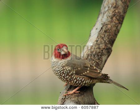 Red headed finch - male