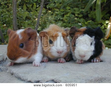 Three Baby Guinea Pigs