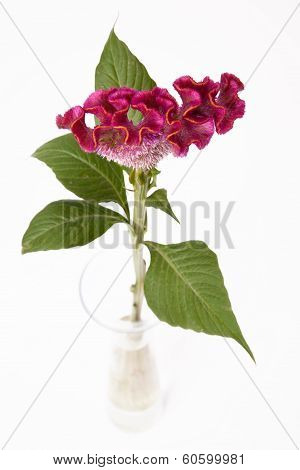 Celosia in glass vase on white, Silber-Brandschopf