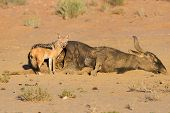 Hungry Black backed jackal eating on a hollow carcass in the dry desert poster