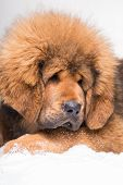 little security guard - red puppy of Tibetan mastiff sitting on snow. Close up portrait poster