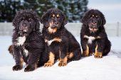 little security guards - three black puppies of Tibetan mastiff sitting on snow poster