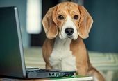 First steps in internet browsing : young beagle with laptop poster