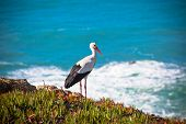 Stork on a Cliff at Western Coast of Portugal. Horizontal shot poster