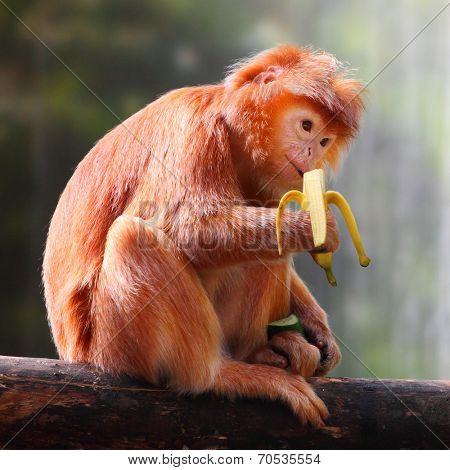 The Javan lutung or Javan langur (Trachypithecus auratus) eating ripe banana.