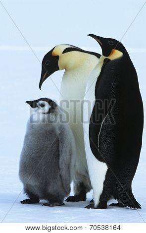 Antarctica, Weddel Sea, Atka Bay, Emperor Penguin Family