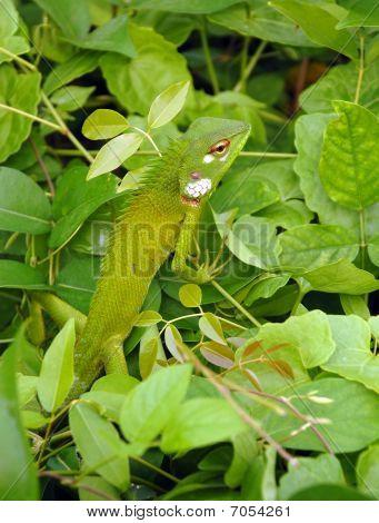 Variable Lizard