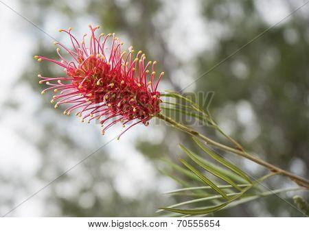 Australian Wildflower Grevillea Species