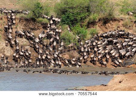 Migratory blue wildebeest (Connochaetes taurinus) crossing the Mara river, Masai Mara National Reserve, Kenya