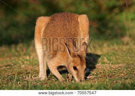Female Agile Wallaby (Macropus agilis), Kakadu National Park, Northern territory, Australia