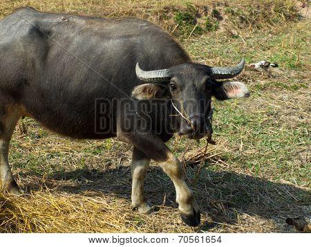Buffalo In Thailand