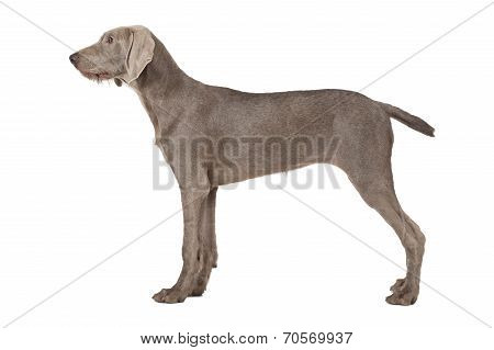 Wirehaired Slovakian Pointer Dog Isolated On White