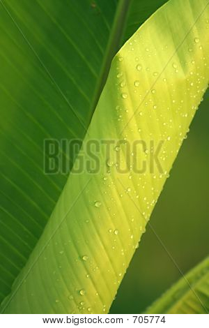 Dew On Banana Leaf