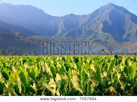 Taro Plants At Hanalei