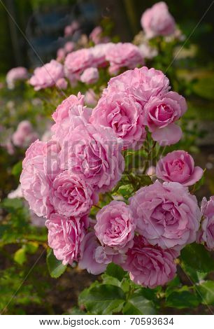 A profusion of pink roses, Rose Garden Stanley Park, Vancouver