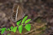 Close up of Smooth-eyed Bushbrown (Orsotriaena medus) butterfly on green leaf in nature poster